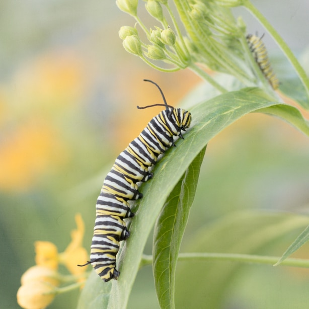 Caterpillar feed on the leaves of specific plants.