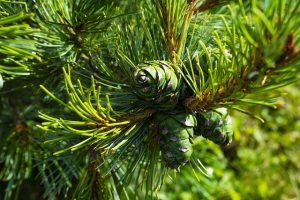 Cedar tree in its natural habitat growing healthily