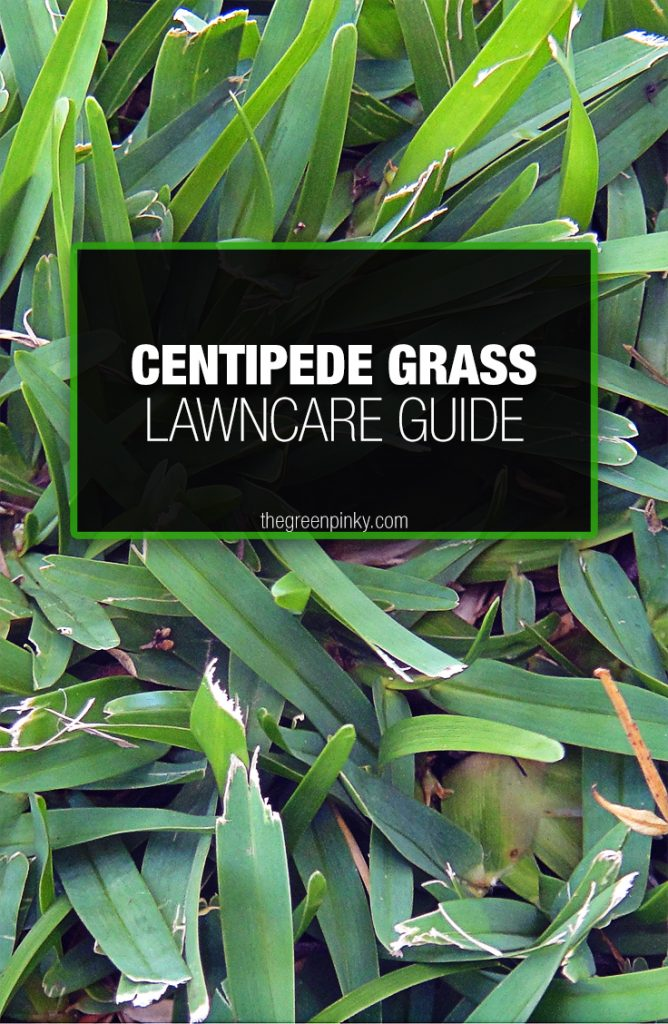 optimal centipede grass growth requires proper watering and mowing.
