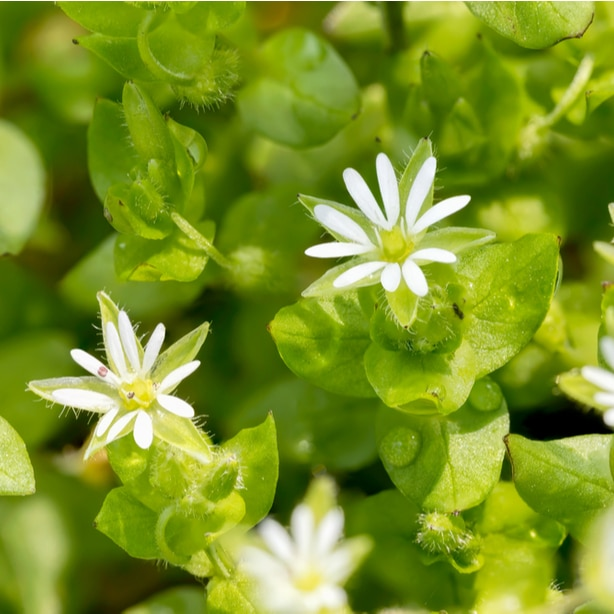 Common chickweed are weeds that invade your lawn