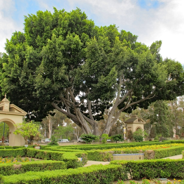 Chinese banyan tree planted in the correct location makes a great design element.