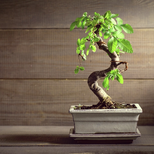 Chinese elm make good elm trees with given the proper soil and container.