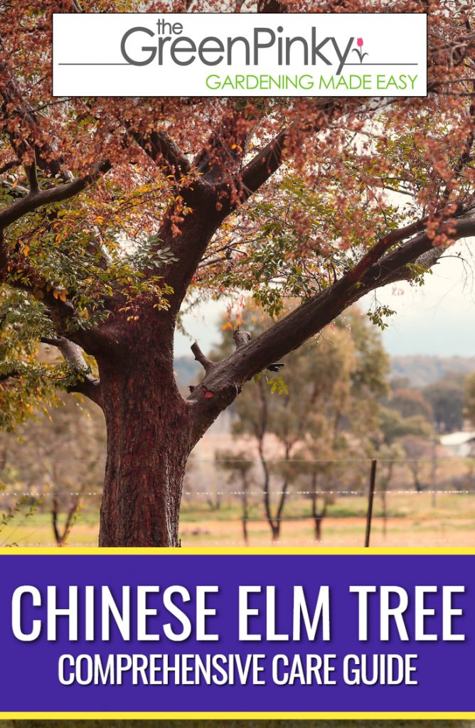 With proper care, Chinese elm tree adds a beautiful element to a garden