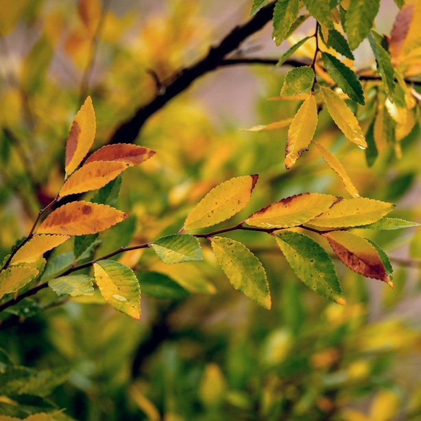 Chinese elm in the fall produces beautiful colors.