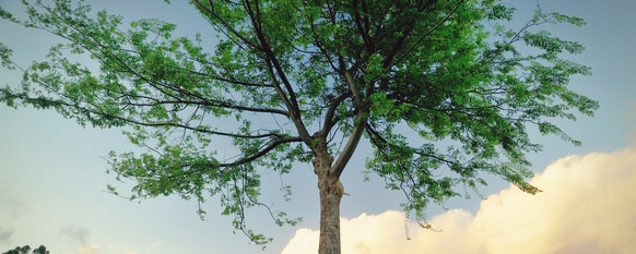 Chinese elm tree growing healthily with the proper care
