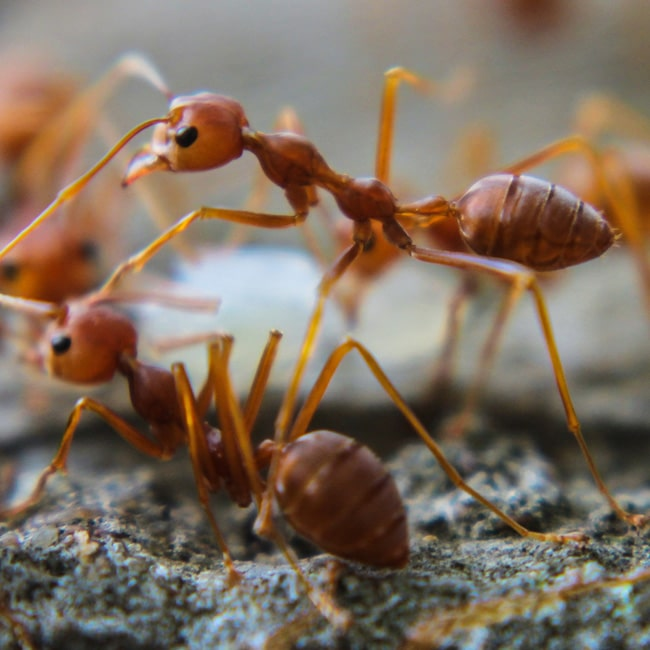 A macro image of a fire ant