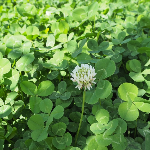 Clover flower can spread thousands of more seeds