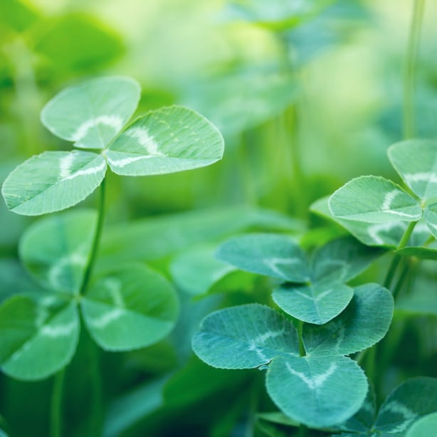 Clover can act as a source of nitrogen for your grass