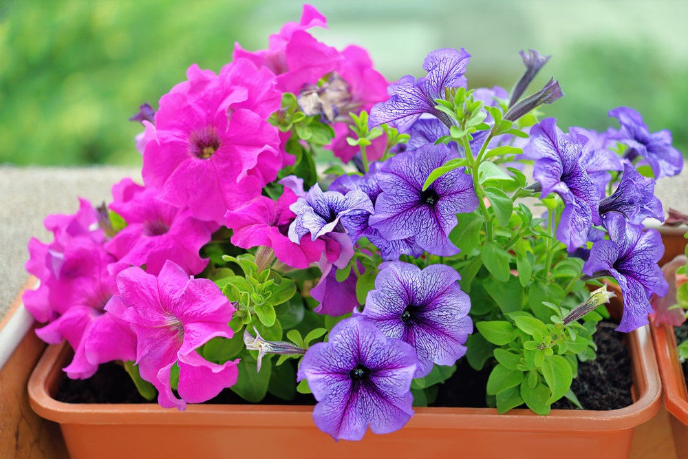Blooms can be colorful when raised correctly.