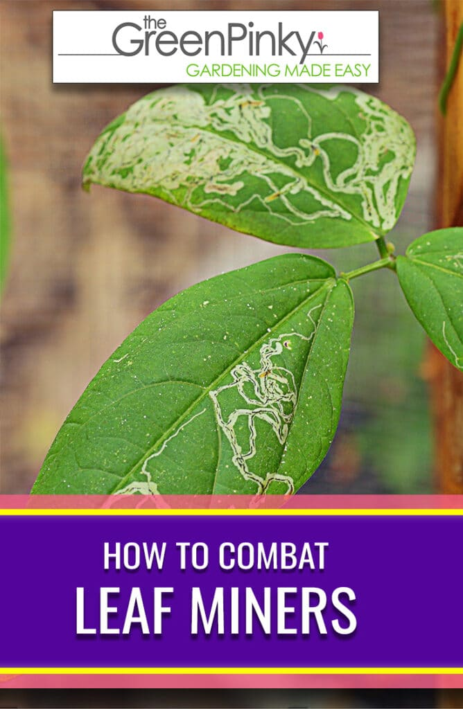 Leaf miners will cause weird squiggly lines on your foliage that needs to be dealt with immediately