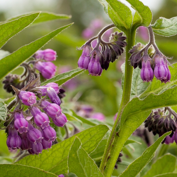 Comfrey is beautiful to look at and can deter beetles