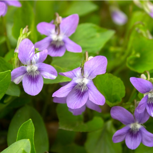 Even though violets are pretty, they are actually weeds.