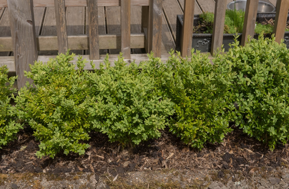 Compacta shrubs are small and compact