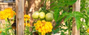 Learn how to deter pests by taking advantage of the natural properties of different plants