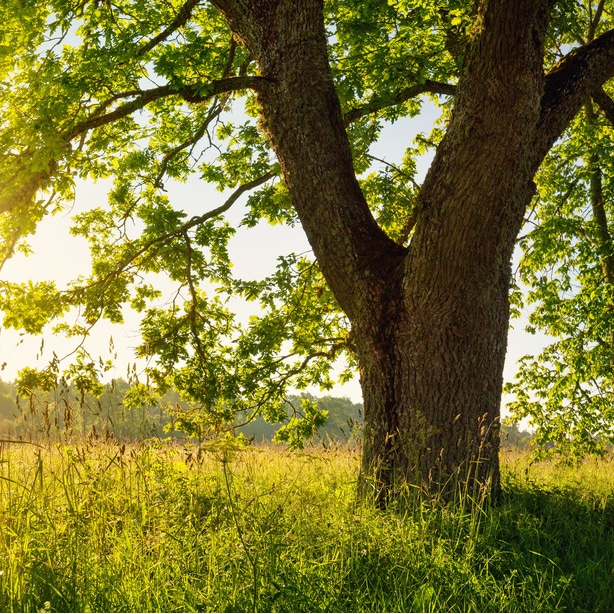 Certain companion plants grow well in the shade of the oak tree