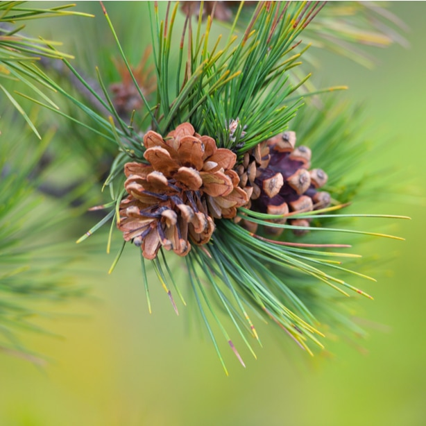 Branches, needles, and cones need to be pruned correctly