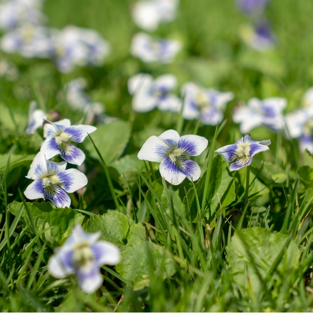 Confederate violets are a type of wild violet variety