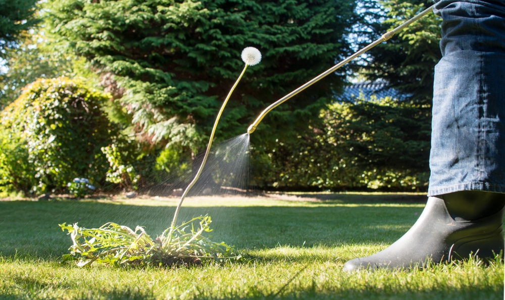 Contact herbicides can get rid of weeds effectively.