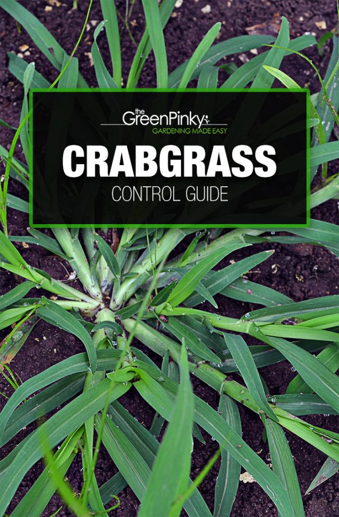 Controlling crabgrass effectively requires the use of tips from a guide