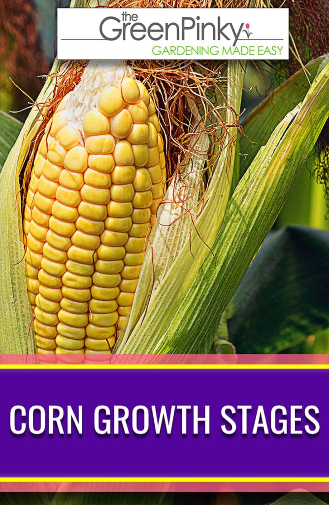 Learn all the growing stages of corn from its vegetative stages to its reproductive stages.