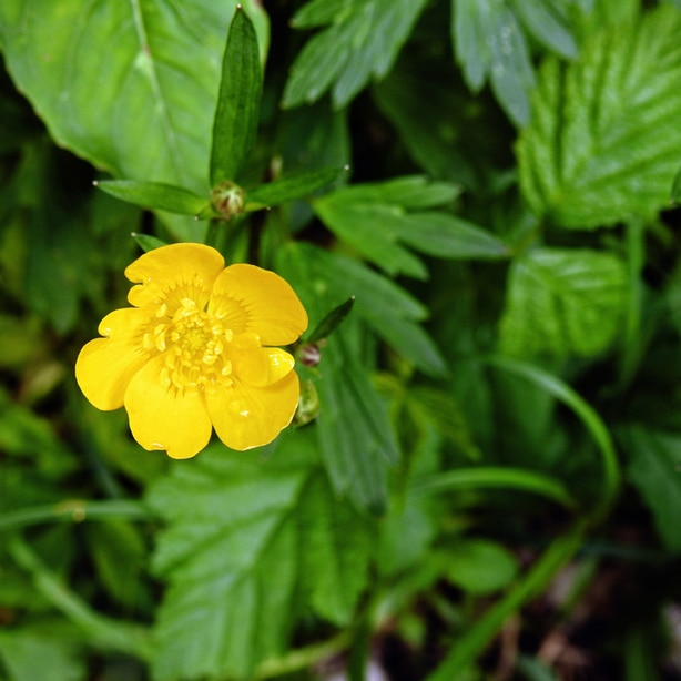 Creeping buttercups have yellow flowers