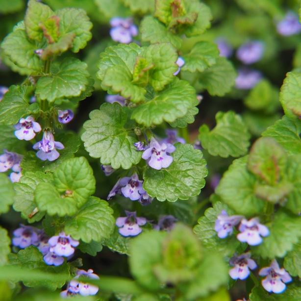 Creeping charlie's purple flowers help you identify it.