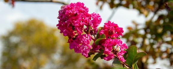 Crepe myrtle requires good fertilizer to flourish