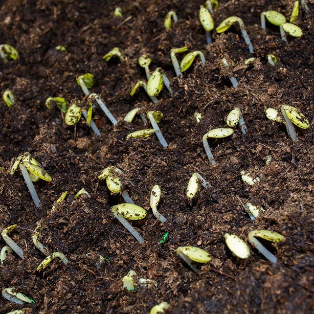 Cucumbers seedlings germinating from the soil