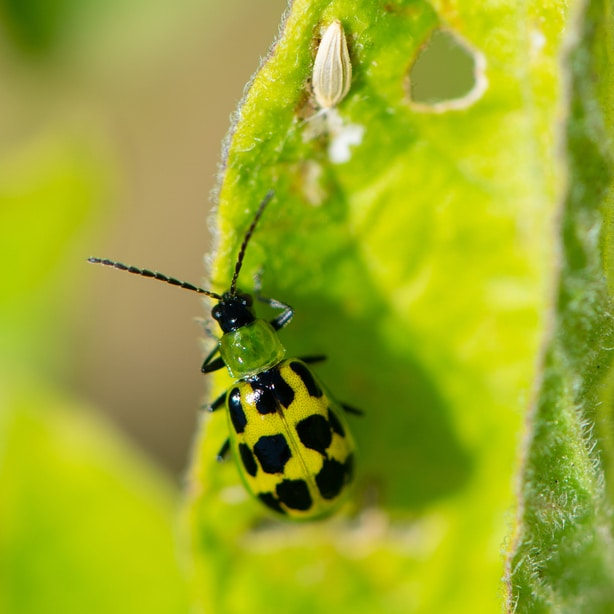 Cucumber beetles are pests that you need to watch out for to prevent damage to your cucurbita.