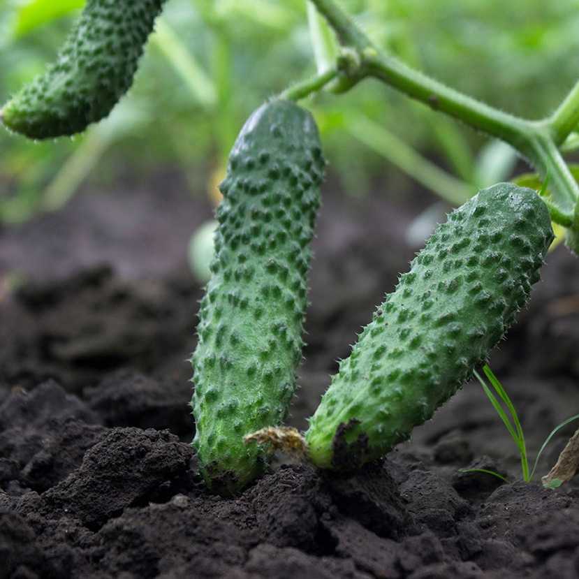 Cucumbers growing from a vine