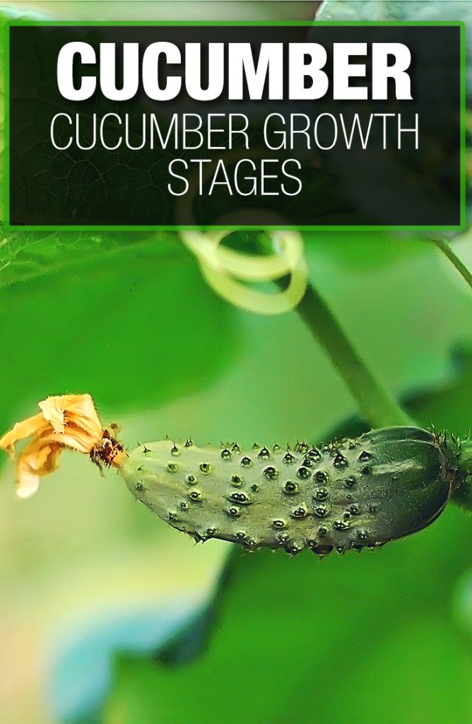 Cucumber growth stages help a gardener become better