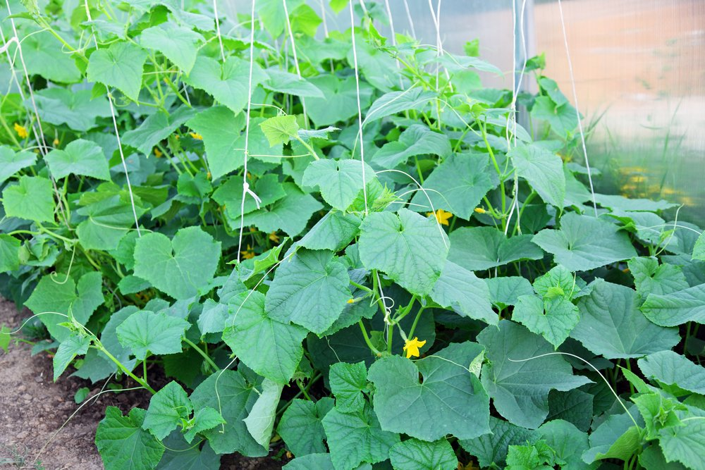 A cucumber bush that has not yet yielded any cucumbers