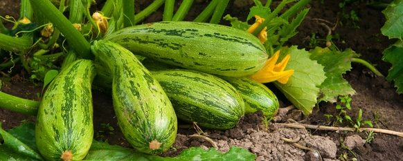 Zucchini: From Seed to Harvest
