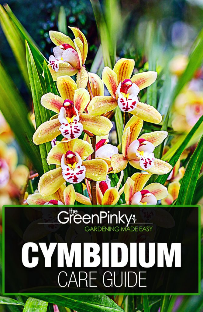 Cymbidium blooming robustly with proper care and maintenance