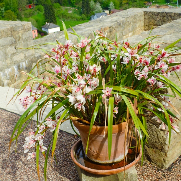 A healthy cymbidium with a draining pot being raised outdoors