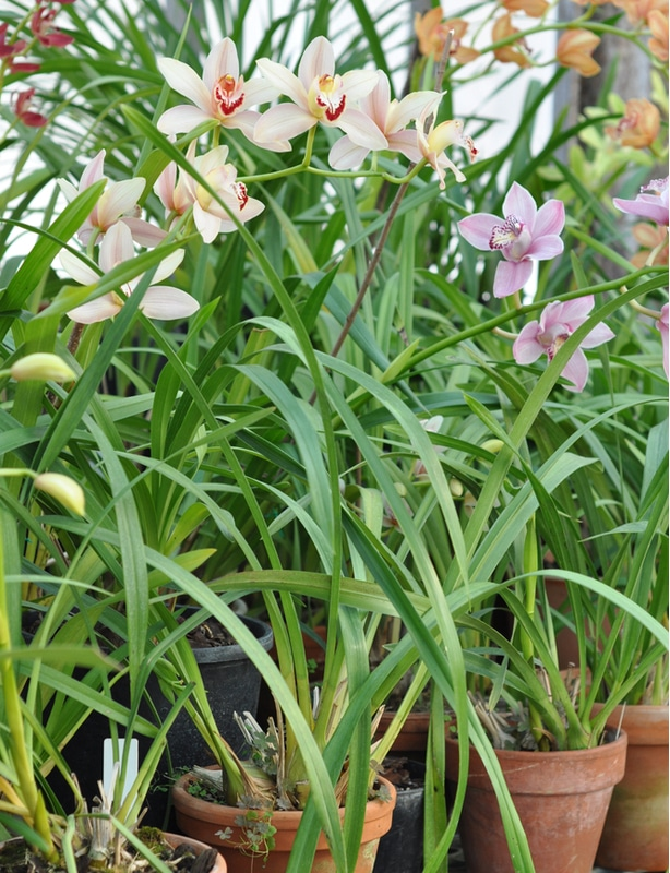 Cymbidium can be propagated but also need to be repotted