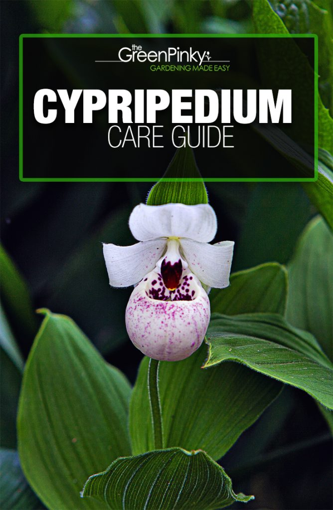 Cypripedium require a guide to grow properly