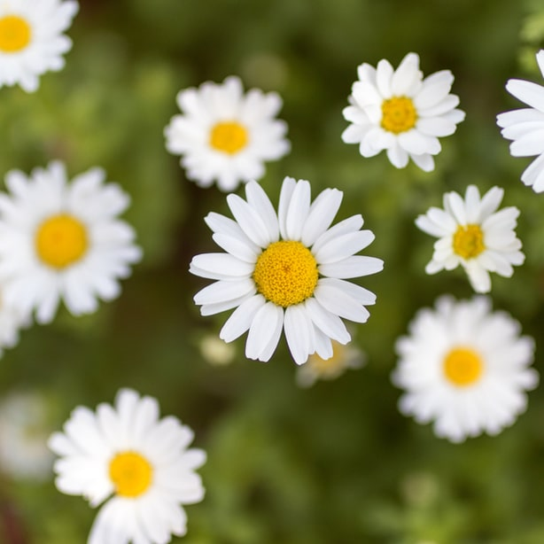 Daisy weeds can prevent other healthy vegetative growth.