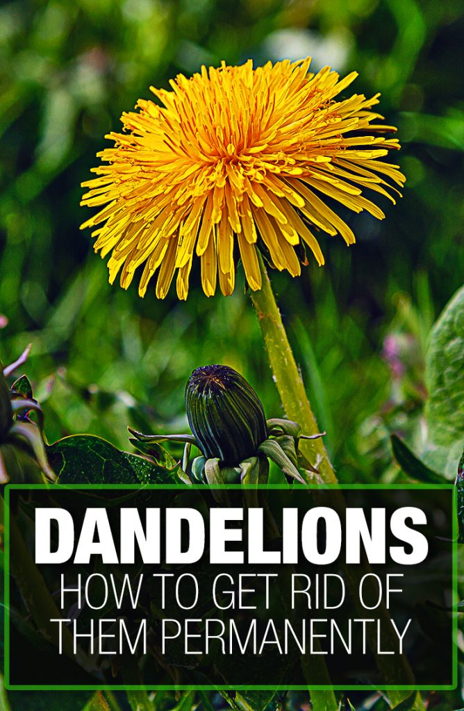 Dandelion weeds are tough to get rid of without a guide