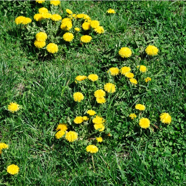 Dandelions can take over a lawn quickly. They need prompt killing.