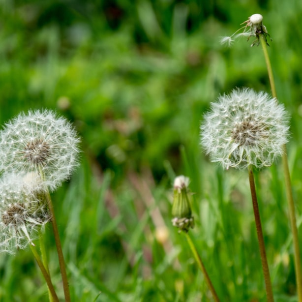 Dandelion seeds spread through the wins hundreds at a time.