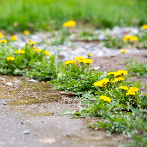 Dandelion growing on sidewalk cracks can be killed with salt