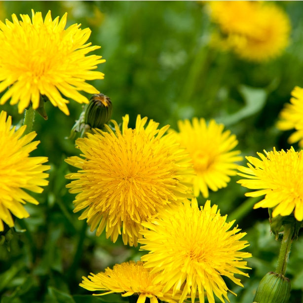 Dandelion will spread seeds if not dealt with