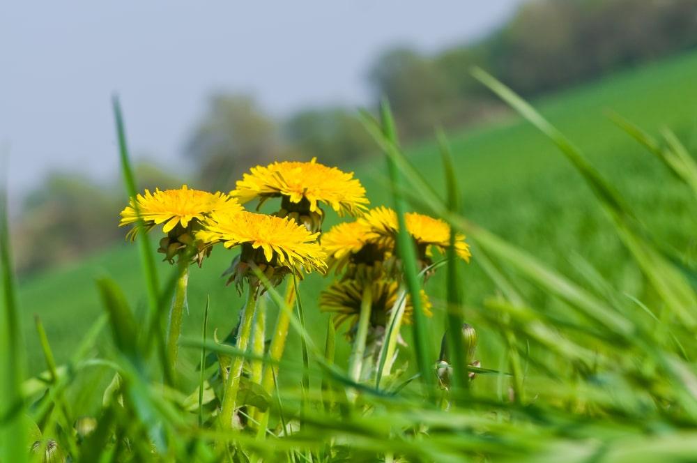Yellow dandelions in a field of grass