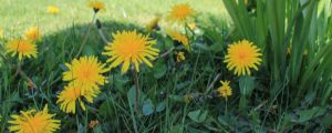 Dandelions growing rampant need to be removed as soon as possible