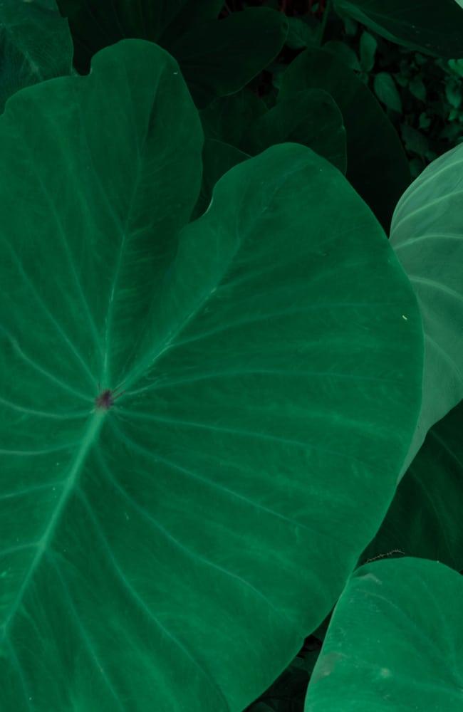 Proper nutrition results in dark green elephant ear leaves