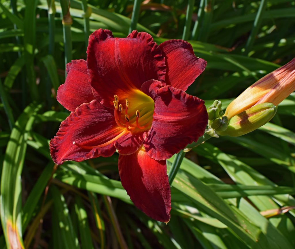 Daylilies growing healthy from proper care