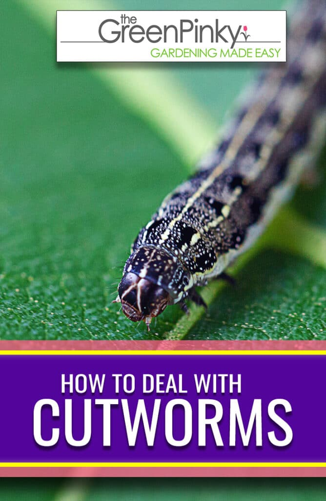 Dealing with cutworms through a proper guide is imperative to prevent the damage they can cause
