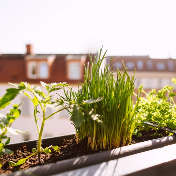 Chives in herb gardens can grow outdoors or indoors