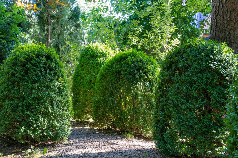 Glencoe boxwood in a yard
